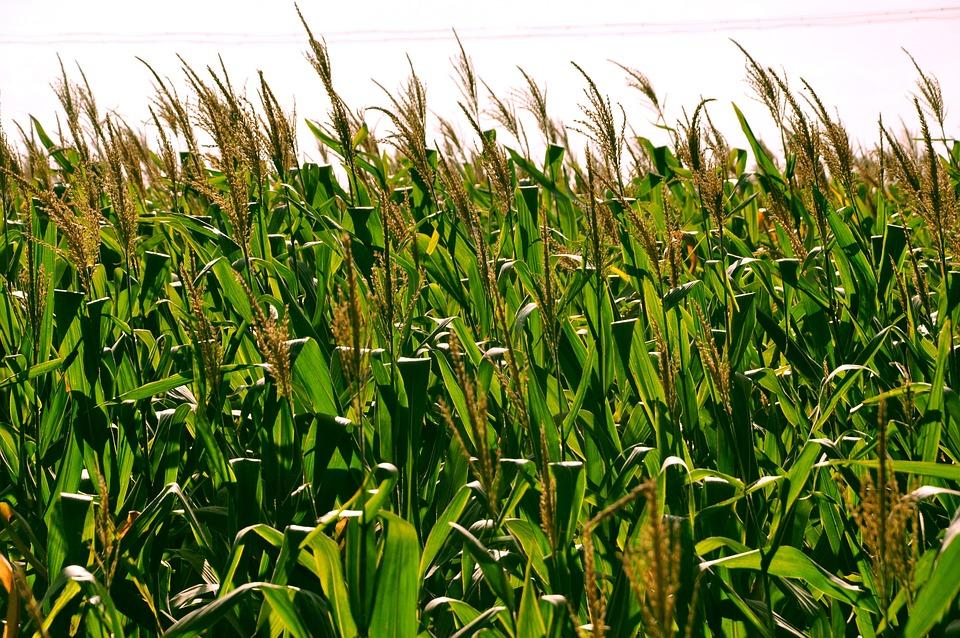 Corn, Fields, Clouds, White Cloud, Blue Sky, Crops