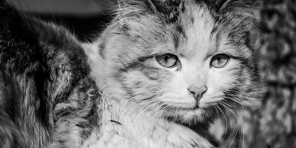Cat, Pets, Whiskers, Companion, Animals, Black, White