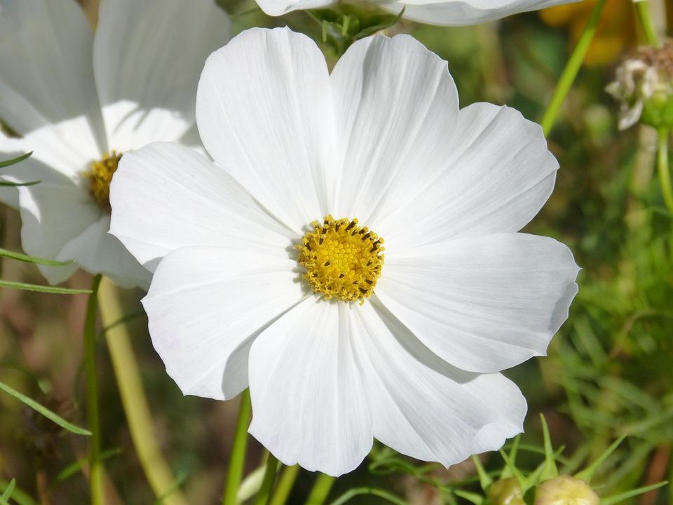 Free Photo White Cosmos Flower Cosmos Bipinnatus White Flower Max