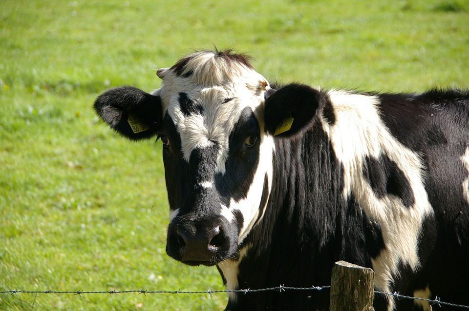 Cow, Beef, Black, White, Milk Cow, Animal
