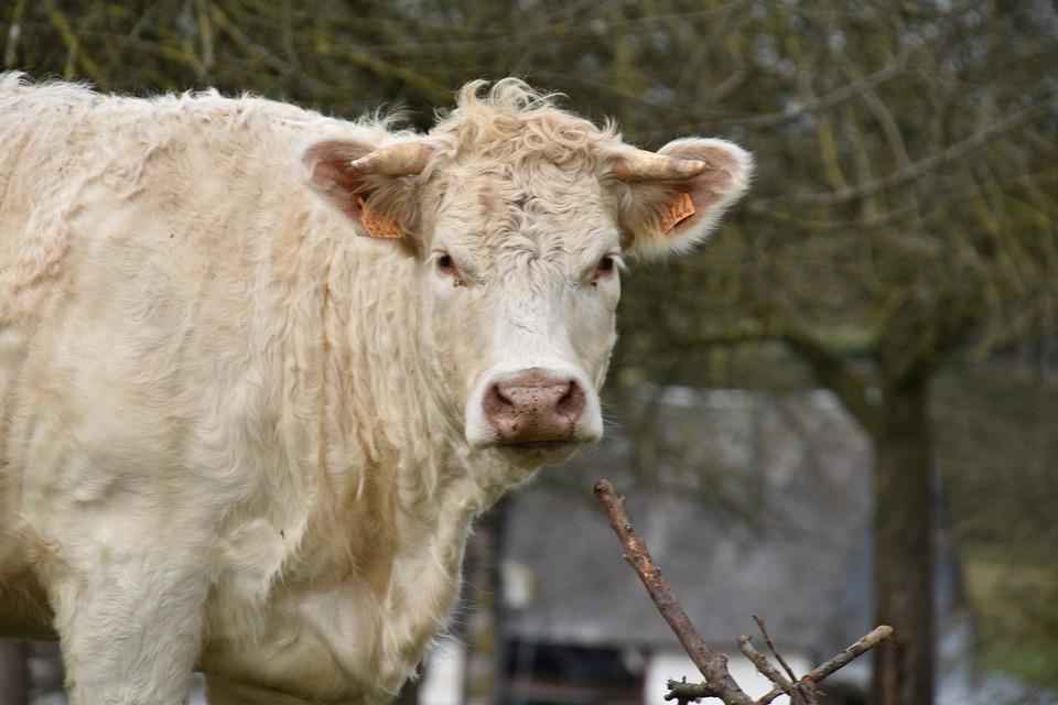 Cow, Charolais Cow, White Cow, Mammal, Pastures