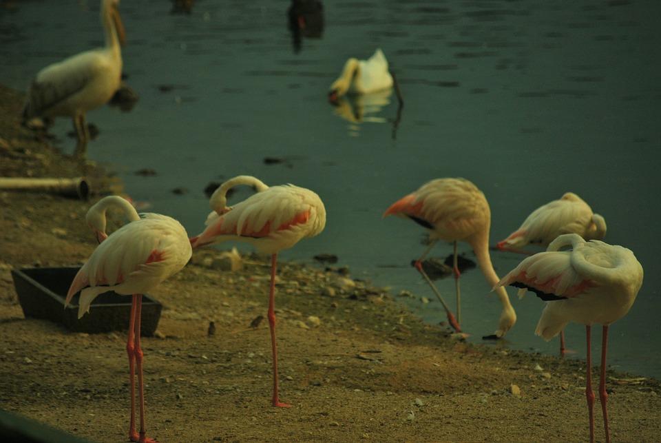 Crane, White, Water, Birds, Animal, Pink, Color, Soil