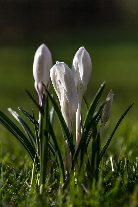 Free photo white crocus blossom bloom flower spring plant max pixel crocus flower spring blossom bloom white plant mightylinksfo