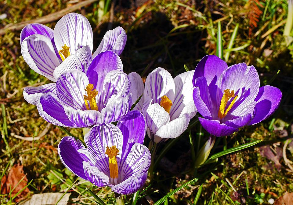 Crocus, Breeding, White, Purple, Flamed