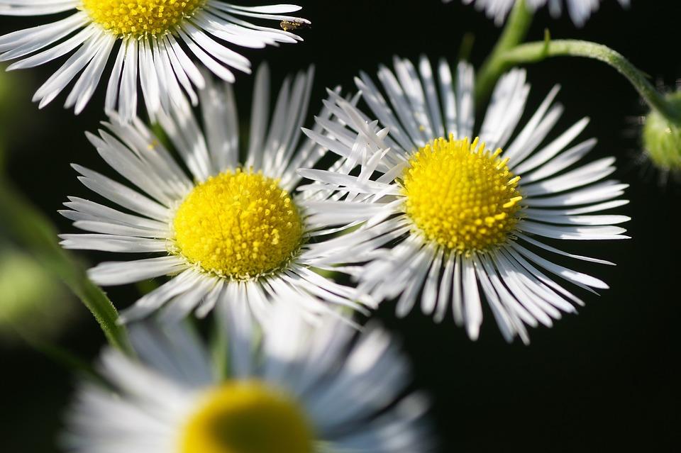 Flowers, White Flowers, White Daisies, Flower, Flora