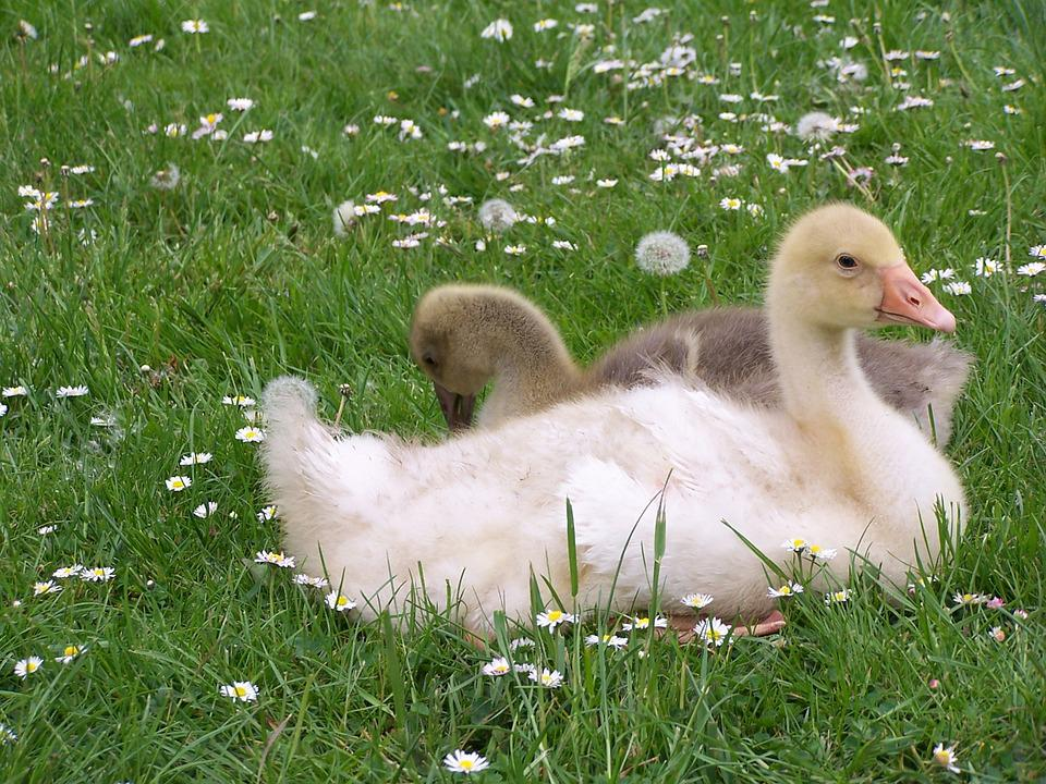 Geese, Daisies, Meadow, Yellow, Blossom, Bloom, White