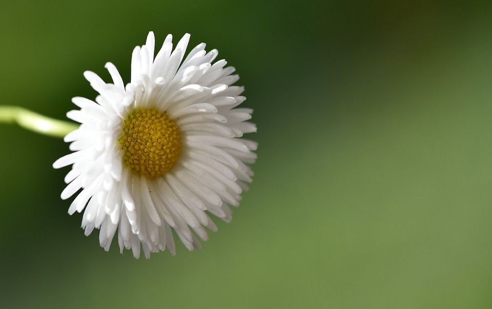 Daisy, Pointed Flower, White, Nature, Close