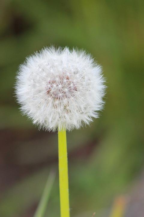 Dandelion, Flower, White, Cotton, Nature, Blossom