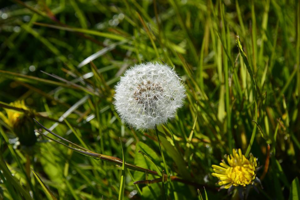 Dandelion, Lint, Nature, White, Seeds, Dry