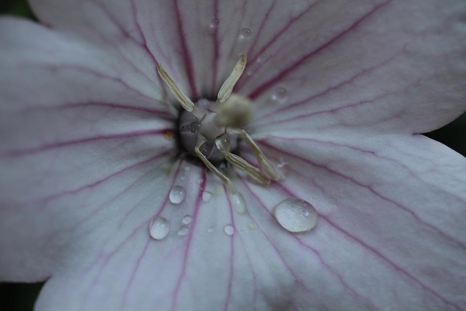 Drip, Dew, Balloon Flower, Blossom, Bloom, White