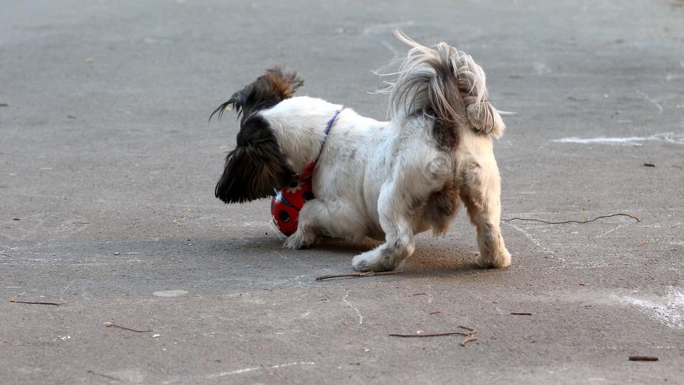 Dog, Play, Ball, Pet, White, Black, Cute