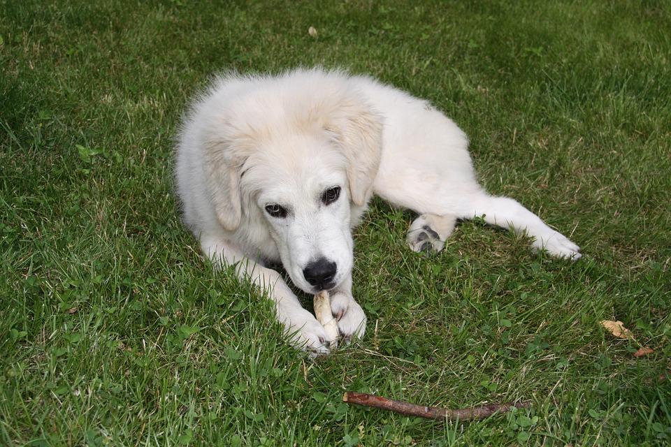 Dog, White, Berger, Play