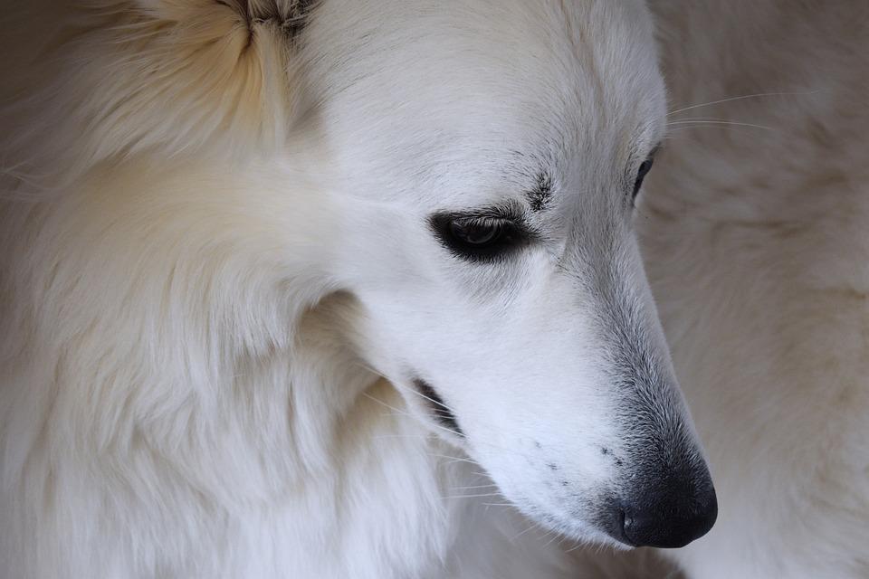 Dog, Pet, Animal, White Dog, Woolf, Cute, Portrait