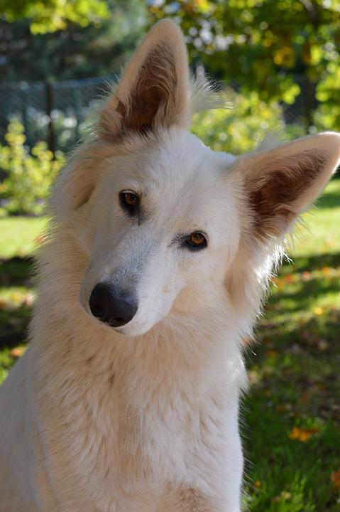 Swiss White Shepherd, White Dog, Dog, Head Tilt