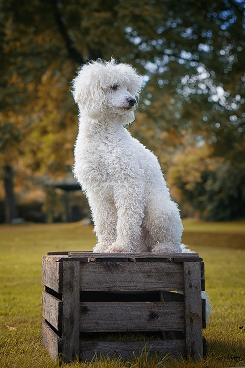 Dog, The Poodle, White, Poodle, The Dog Breed