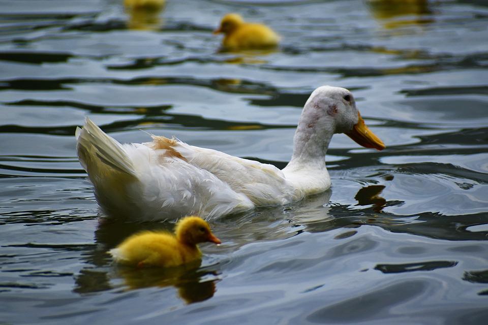 White Duck, Plumage, Wildlife, Bird 2021, Waterfowl