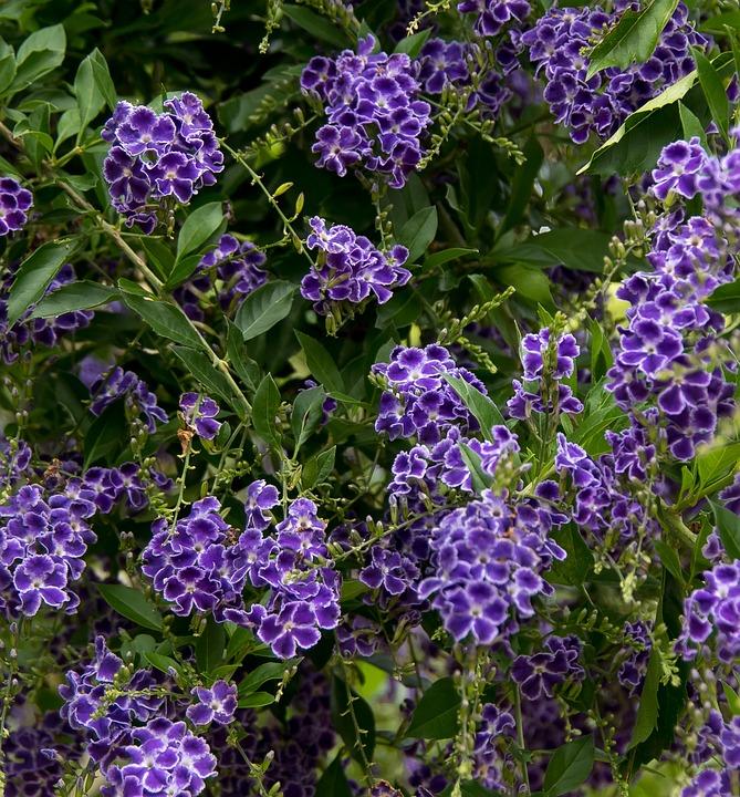Durranta, Flowers, Purple, White, Floral, Bloom