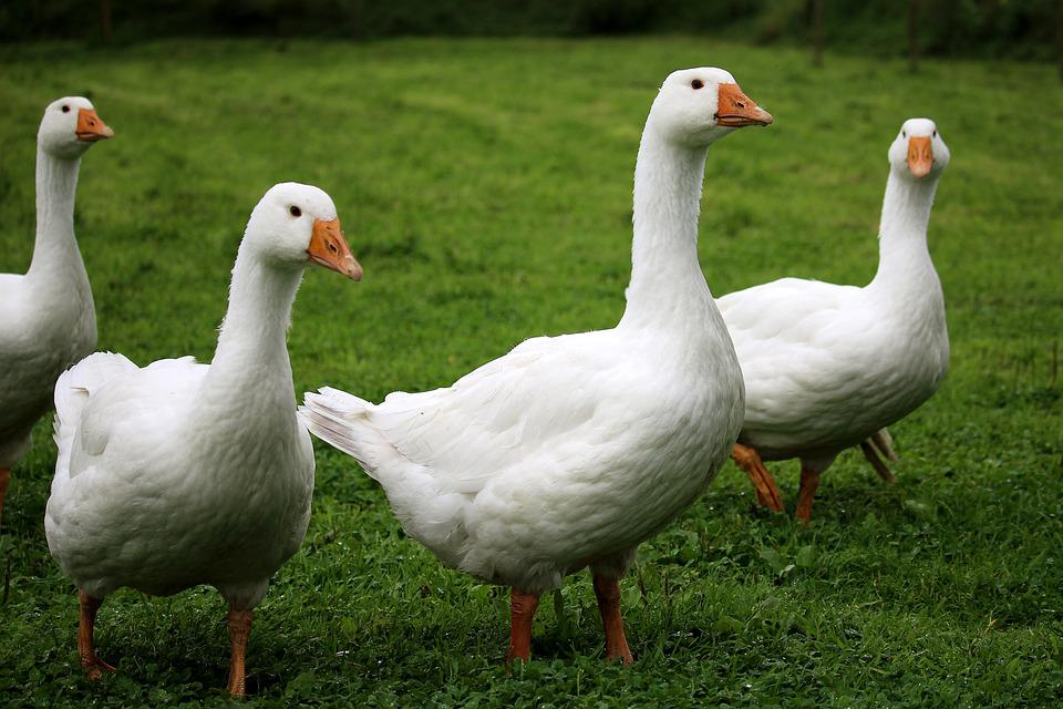Geese, White, Poultry, Birds, Farm, Animals