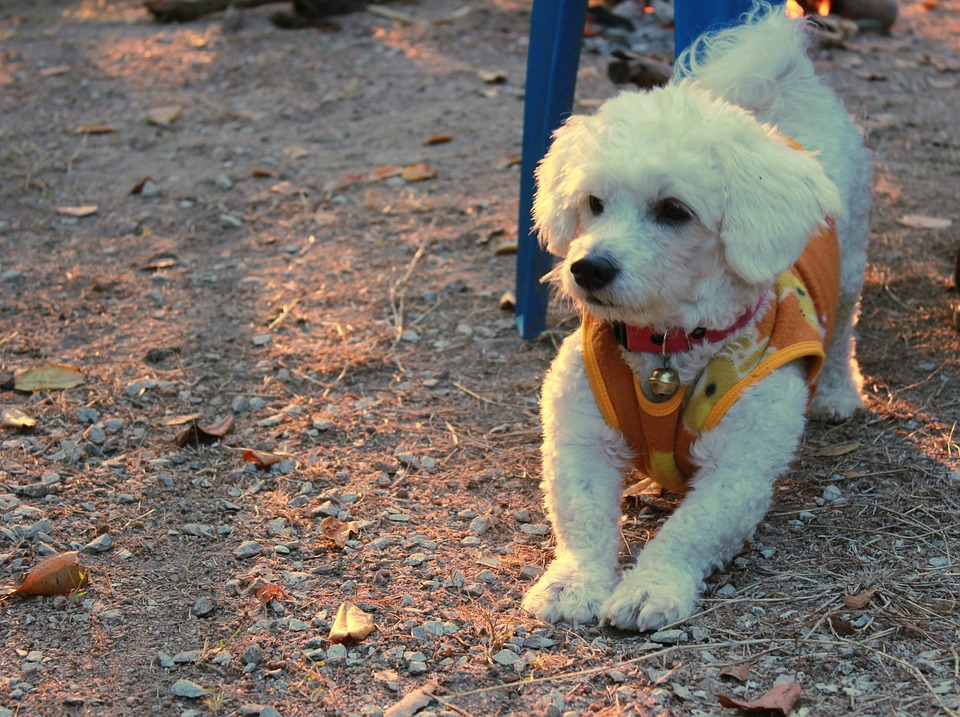 Bichon Frise, Dog, Pets, Cute, Breed, White Feather