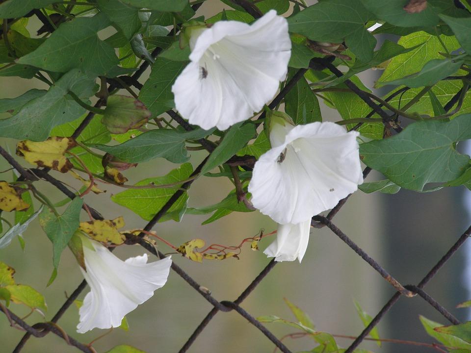 Morning Glory, Fence, White, Flower