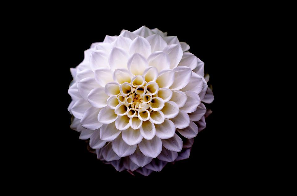 Free photo white floral plant flower background dahlia pink max pixel dahlia floral flower white background plant pink mightylinksfo