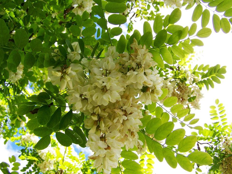 Free photo white flower acacia blossom spring max pixel acacia blossom white flower spring mightylinksfo