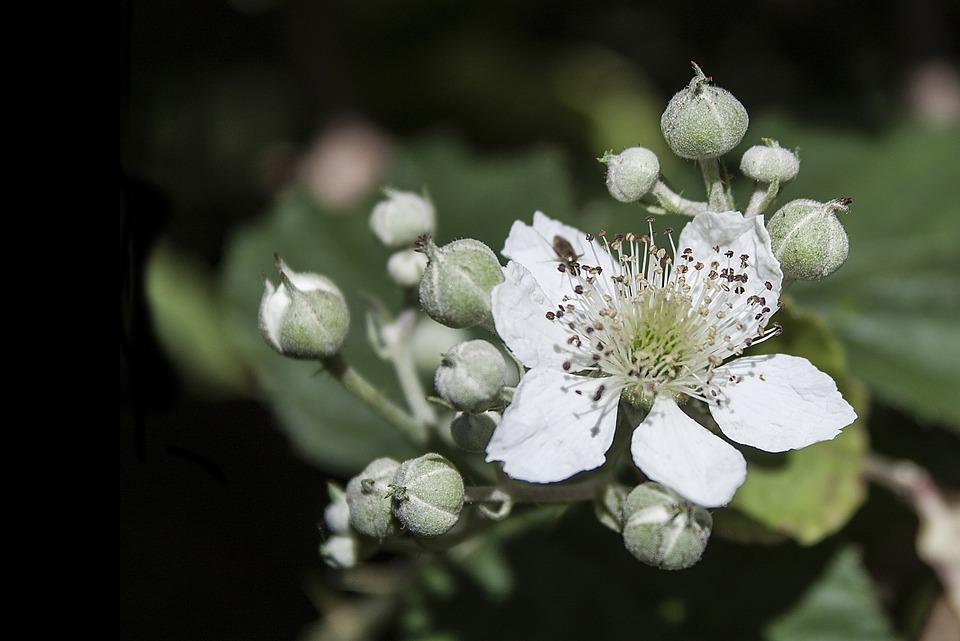 Bramble, Flower, White, Blackberry, Bloom, Flora