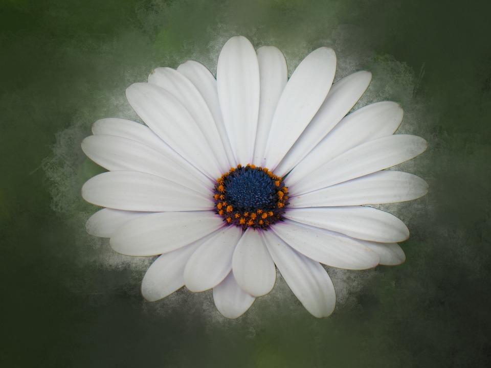Flower, Daisy, Blossom, White