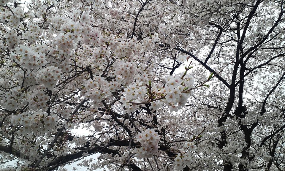 Cherry Blossom, Racing, Hanami, White Flower