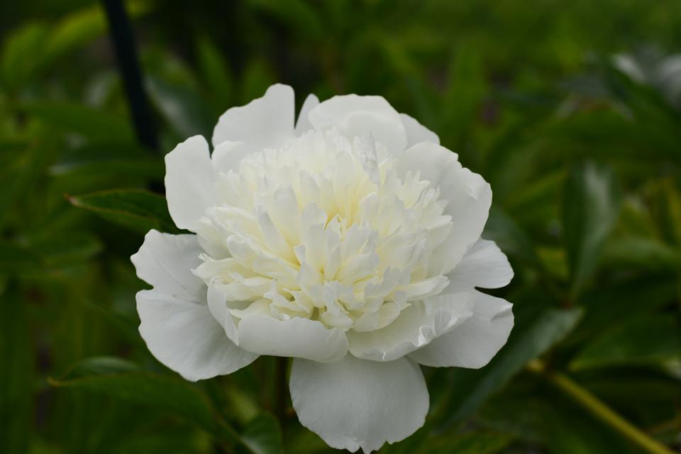 Chinese Peony, Flower, Plant, White Flower, Petals