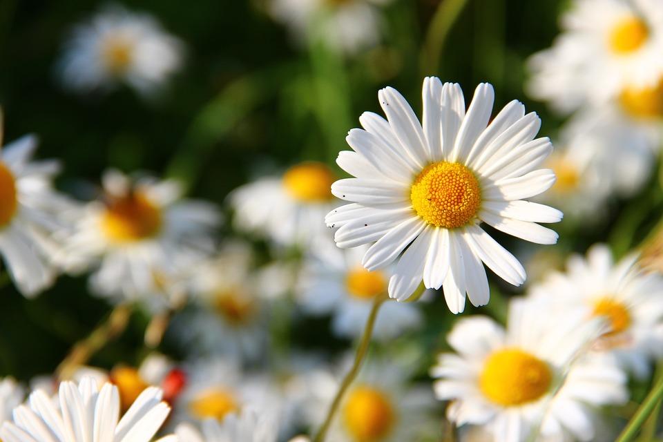Daisies, White, Flower, Summer, Flowers, Bloom, Meadow