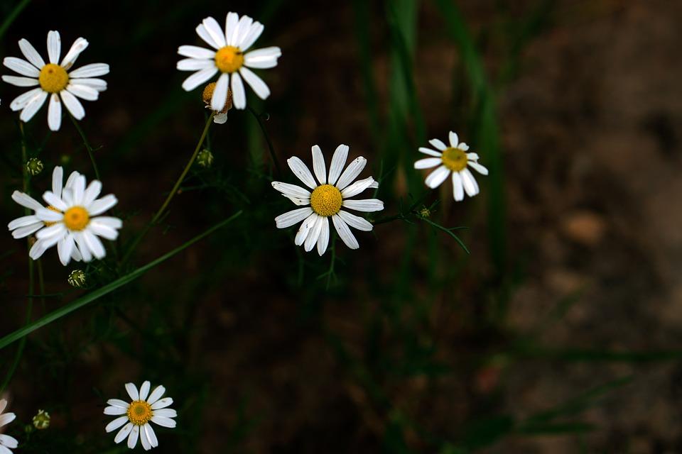 Daisy, White, Grass, Green, Earth, Flowers, Flower