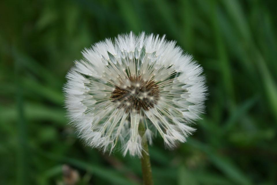 Dandelion, Flower, Summer Flowers, May, White
