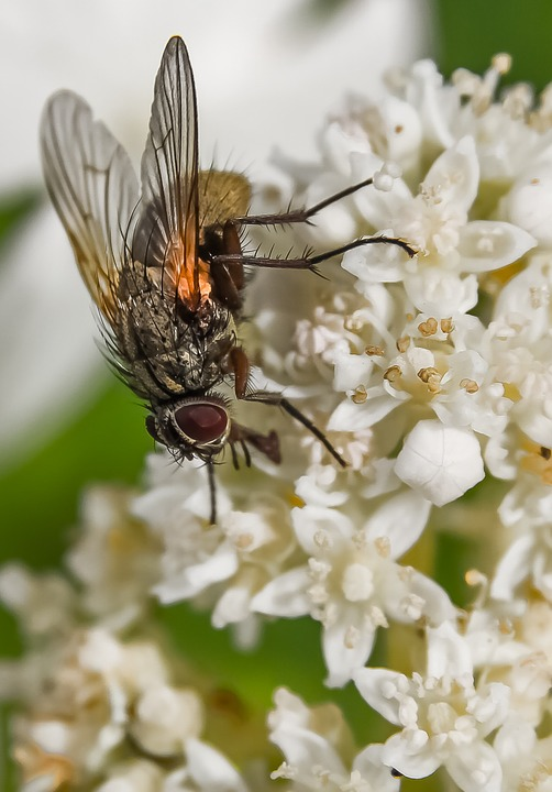Fly, Hydrangea, White Flower, Flower, Insect, Plant