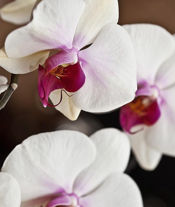 Orchid, Orchis, White Flower, Flower, Flower Room