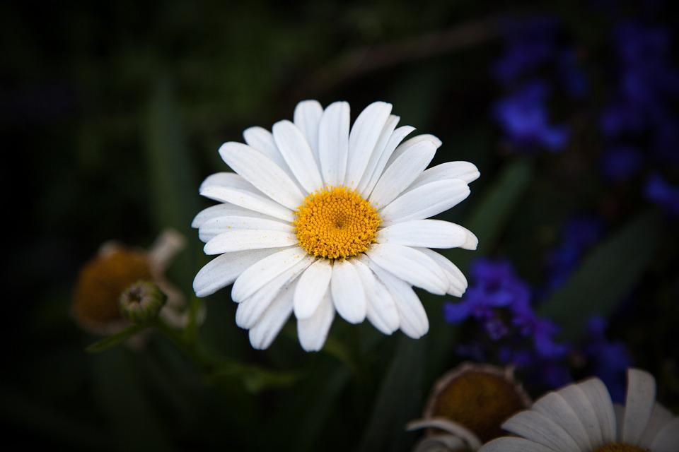 Oxeye Daisy, Daisy, Oxeye, Flower, Nature, White