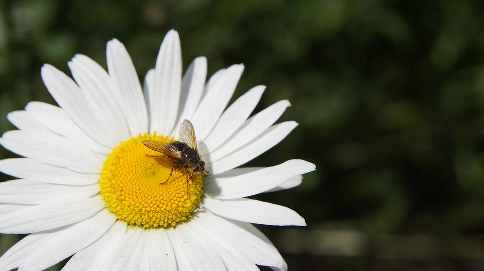 Pyrethrum, Fly, Flower, White, White Flowers, Blossom