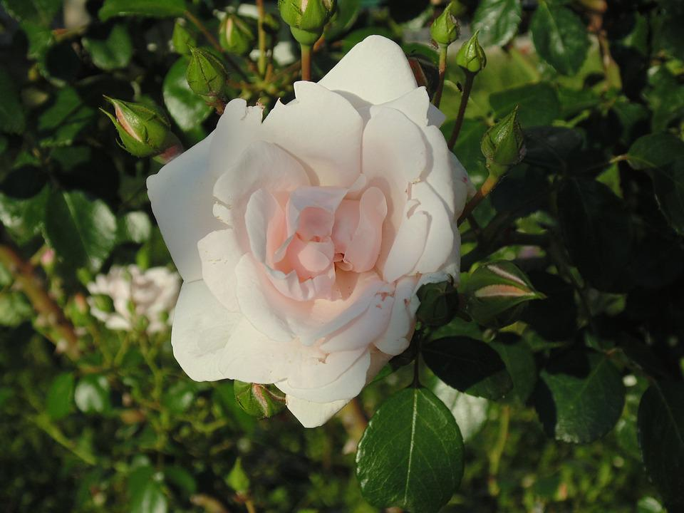 Rose, White, White Rose, Flower