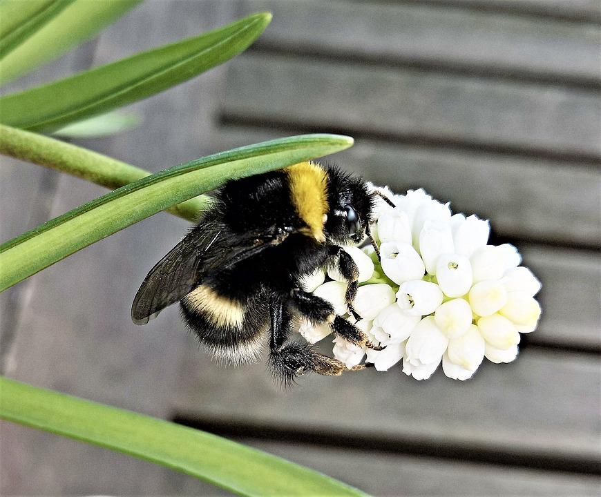 Flower, Muscari, Hummel, Insect, Single Bloom, White