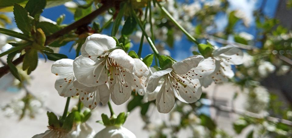 Spring, Flower, Fruit Flower, Tree, White Flower, Plant