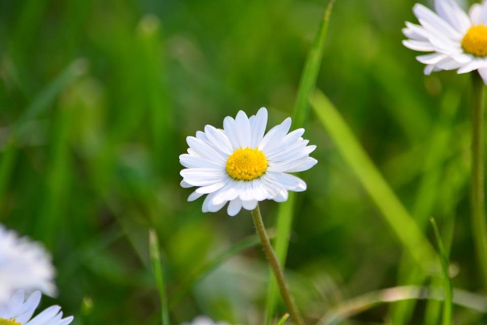 Flower, Daisy, Spring, White, Grass