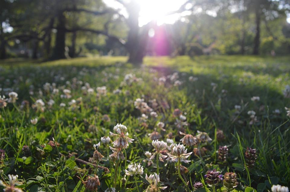 Clover, Flower, White, Tree, Field, Nature, Spring, Sun