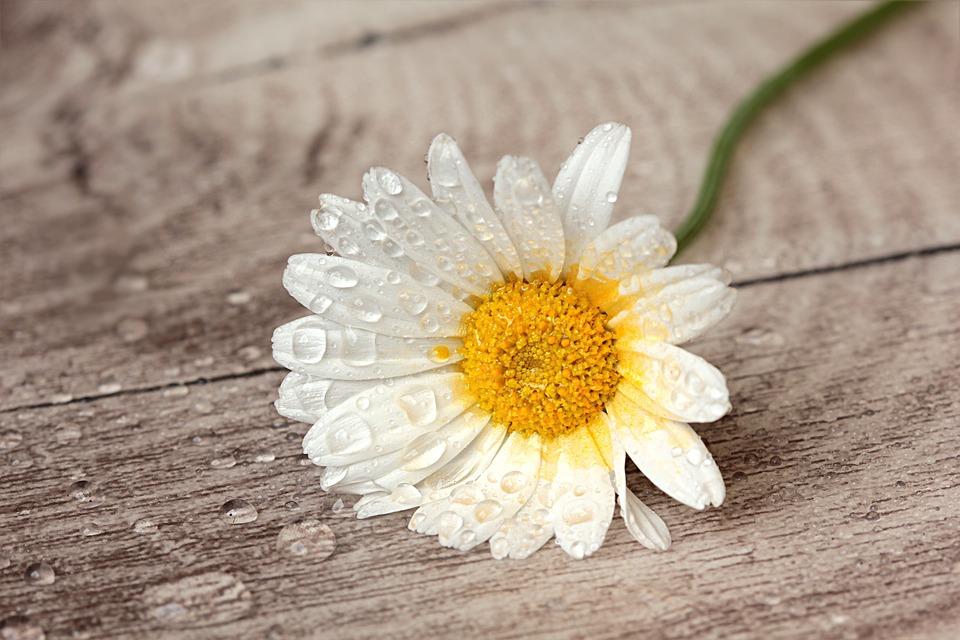 Still Life, Flower, Marguerite, Leucanthemum, White