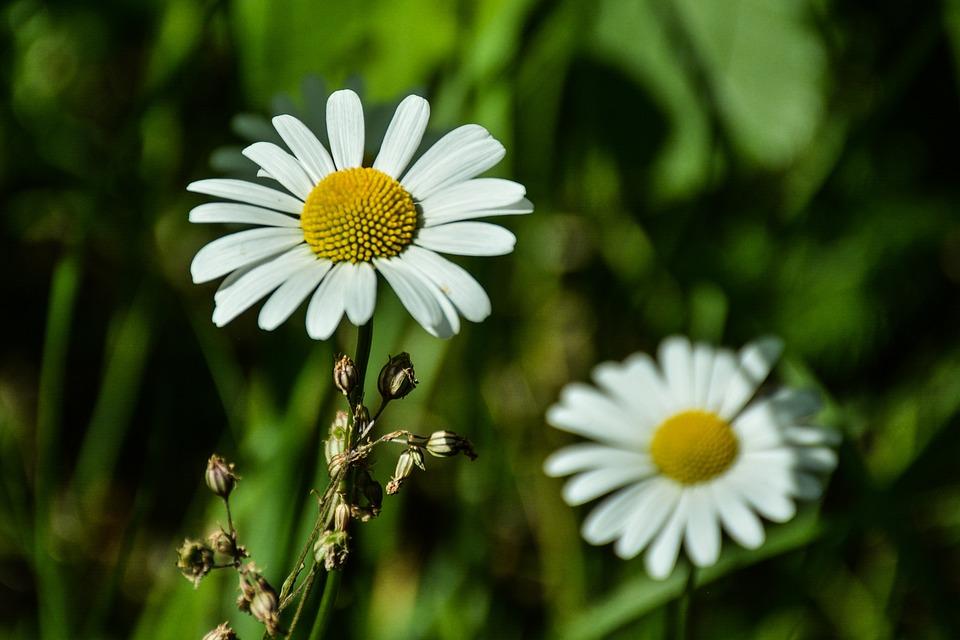 Daisy, Flower, Green, White, Nature, Spring, Summer