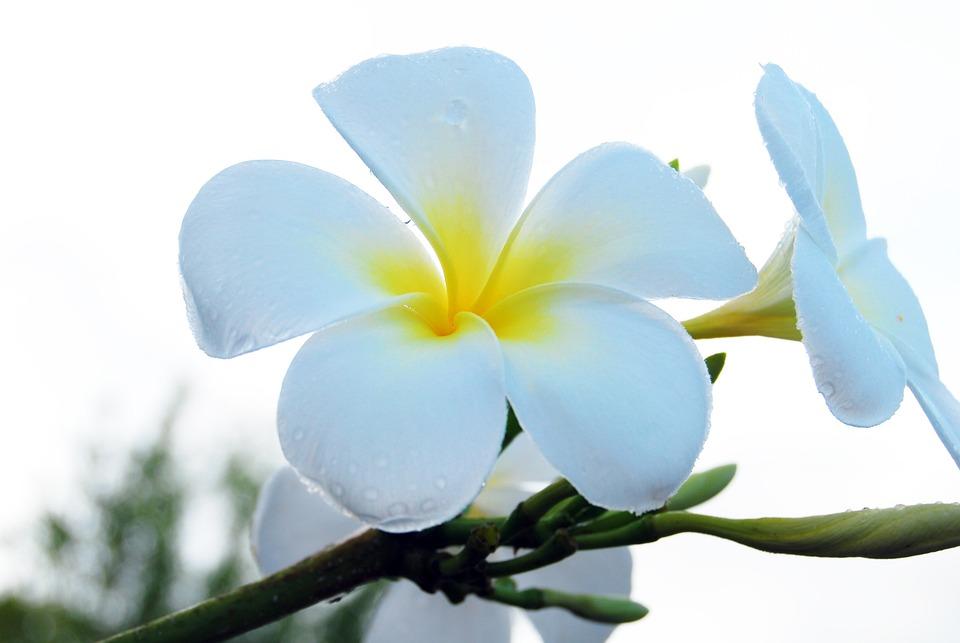 Free photo White Flower Summer Tropical Plumeria Nature - Max Pixel
