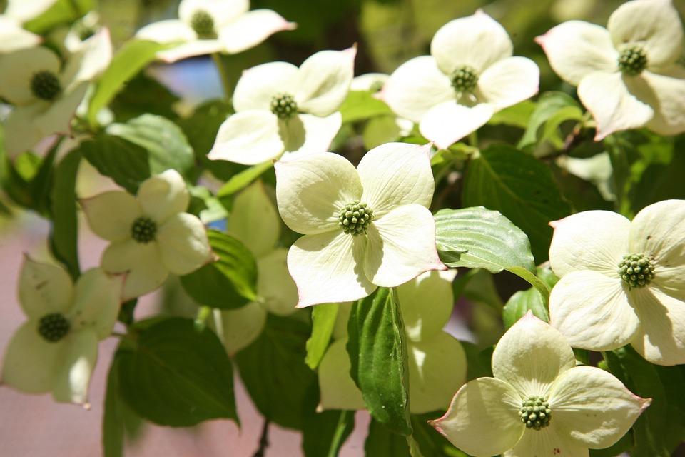 Osier, Nature, Flowers, White Flower, White Flowers