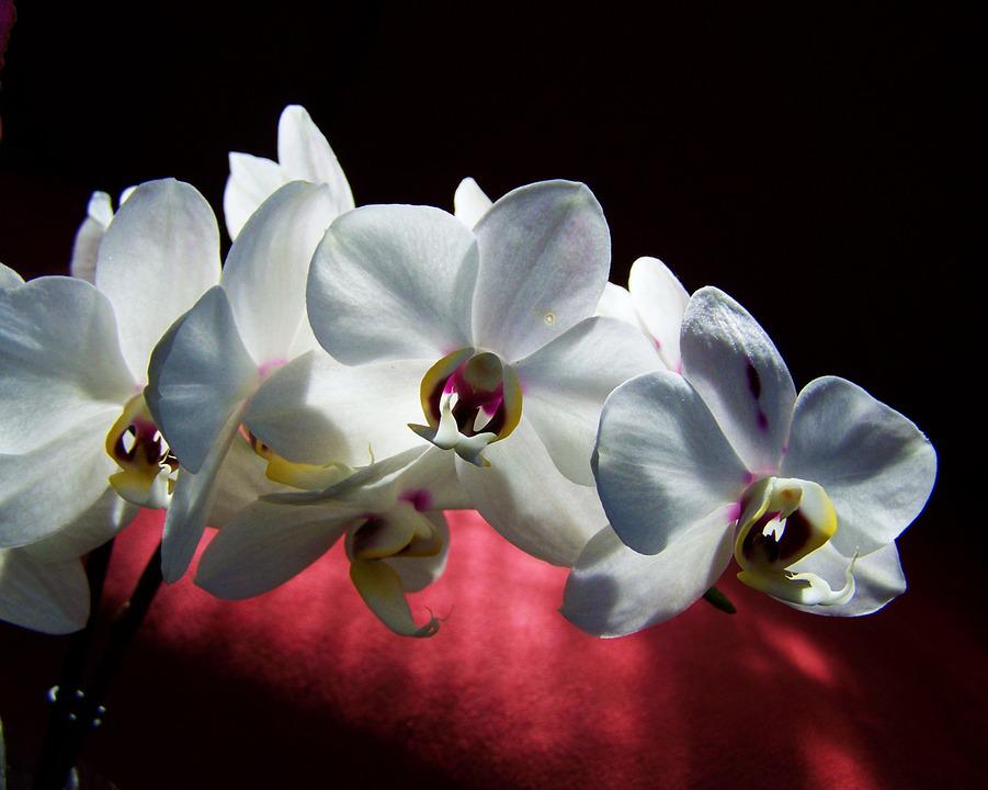 White Orchid, White Flower, Room Plant