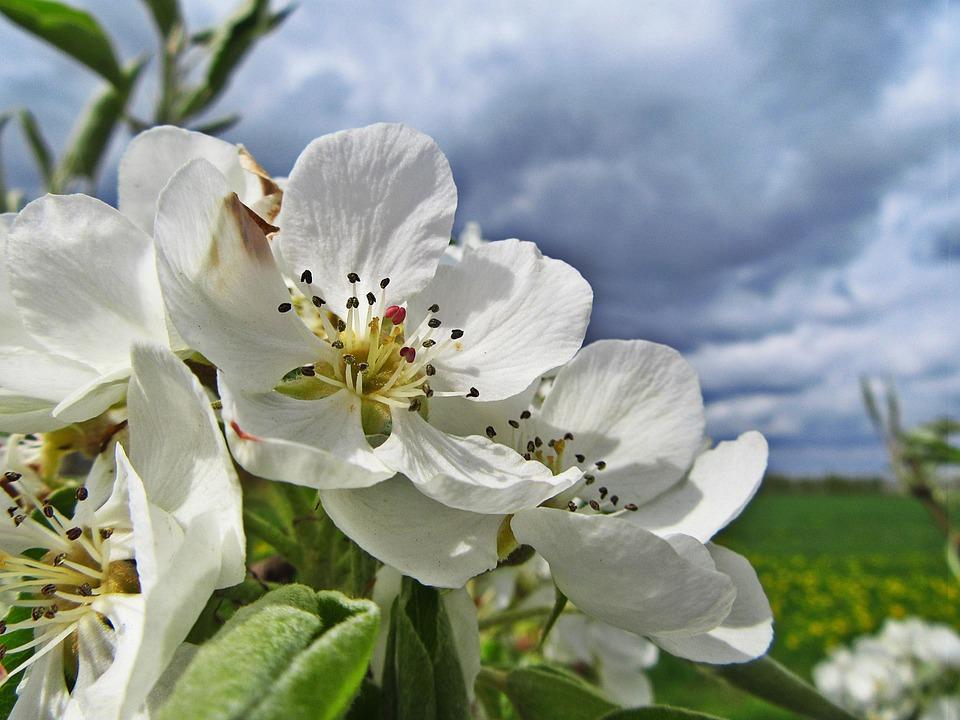Blossom, White Blossom, Bloom, White Flowers, Flower
