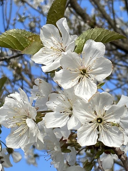 Flowers, White Flowers, Bloom, Blossom, Flora, Petals