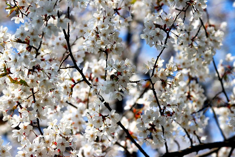 Cherry Blossom, Flowers, Branches, Tree, White Flowers